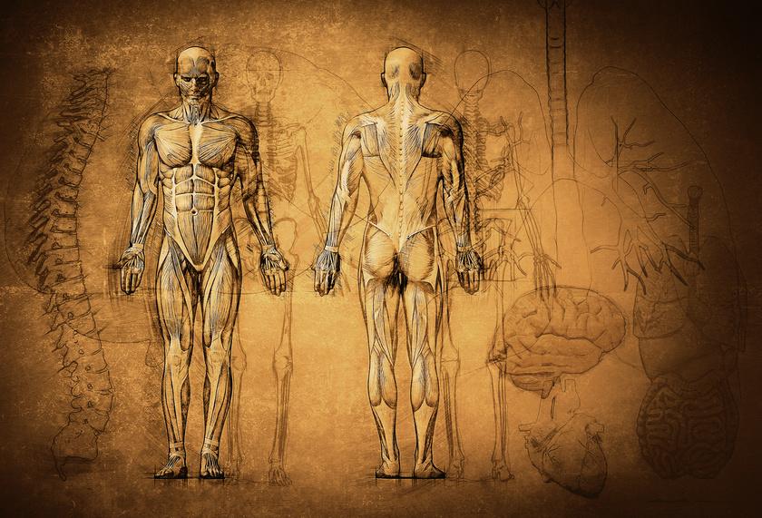 Anatomische Zeichnung